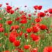 Papaver rhoeas common names include corn poppy , corn rose , field poppy , Flanders poppy , red poppy , red weed , coquelicot