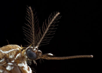 The head of a female yellow fever mosquito. Laboratory culture at Rockefeller University.